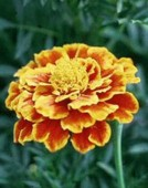 [marigold]